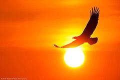 aigle volant au coucher du soleil